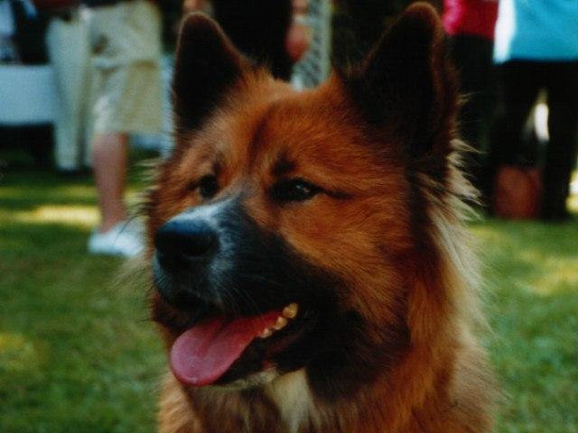 bei der Bewertung zum Zuchthund in Hermannsburg